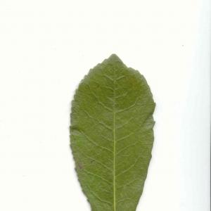Photographie n°6770 du taxon Arbutus unedo L.