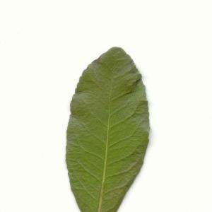Photographie n°6771 du taxon Arbutus unedo L.