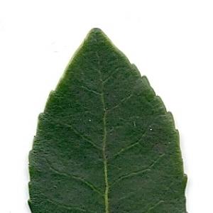 Photographie n°6793 du taxon Arbutus unedo L.
