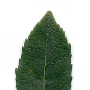 Photographie n°6794 du taxon Arbutus unedo L. [1753]