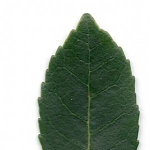 Photographie n°6795 du taxon Arbutus unedo L. [1753]