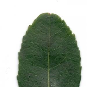 Photographie n°6796 du taxon Arbutus unedo L. [1753]