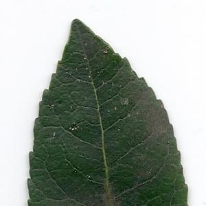 Photographie n°6797 du taxon Arbutus unedo L. [1753]