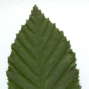 Photographie n°6806 du taxon Carpinus betulus L.