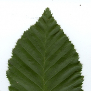 Photographie n°6807 du taxon Carpinus betulus L.