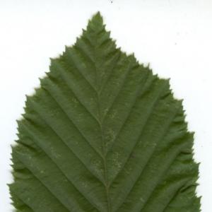 Photographie n°6808 du taxon Carpinus betulus L.