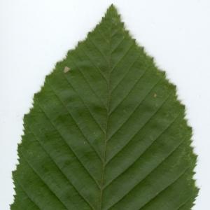 Photographie n°6809 du taxon Carpinus betulus L.