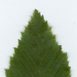 Photographie n°6810 du taxon Carpinus betulus L.