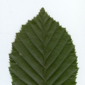 Photographie n°6811 du taxon Carpinus betulus L.