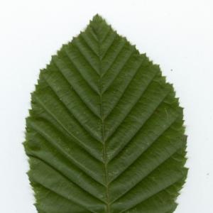 Photographie n°6812 du taxon Carpinus betulus L.