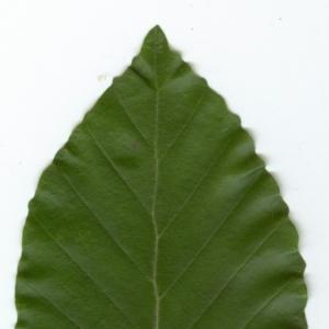 Photographie n°6813 du taxon Fagus sylvatica L. [1753]