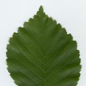 Photographie n°6814 du taxon Ulmus minor Mill. [1768]