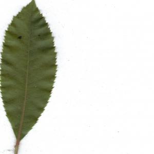Photographie n°6853 du taxon Arbutus unedo L. [1753]