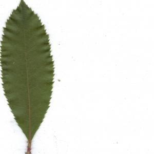 Photographie n°6855 du taxon Arbutus unedo L. [1753]