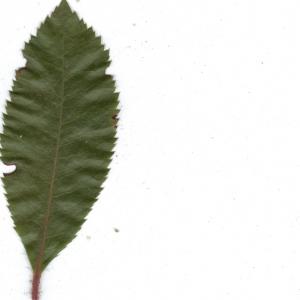 Photographie n°6856 du taxon Arbutus unedo L. [1753]