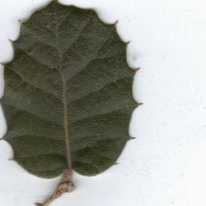 Photographie n°6863 du taxon Quercus ilex L. [1753]
