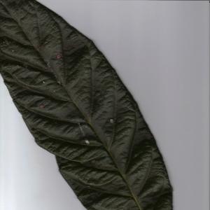 Photographie n°6881 du taxon Eriobotrya japonica (Thunb.) Lindl. [1821]