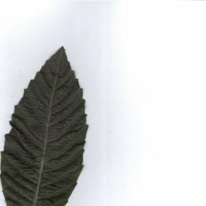 Photographie n°6883 du taxon Eriobotrya japonica (Thunb.) Lindl. [1821]