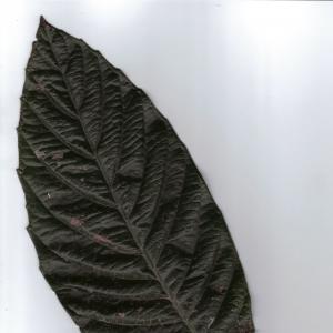 Photographie n°6884 du taxon Eriobotrya japonica (Thunb.) Lindl. [1821]