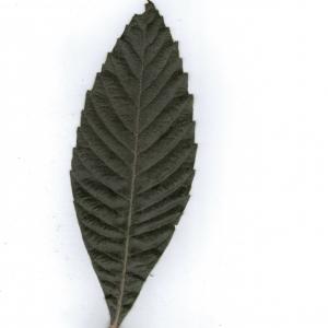 Photographie n°6885 du taxon Eriobotrya japonica (Thunb.) Lindl. [1821]