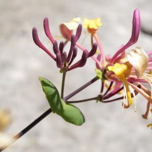 Lonicera caprifolium L. (Chèvrefeuille commun)