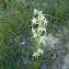 Grégoire DUCHÉ - Orchis bifolia L.