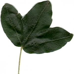 Photographie n°7086 du taxon Acer monspessulanum L. [1753]