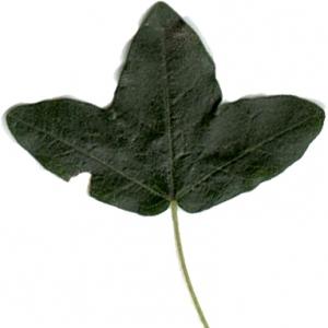 Photographie n°7088 du taxon Acer monspessulanum L.