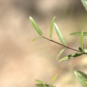 Photographie n°7130 du taxon Phillyrea angustifolia L. [1753]