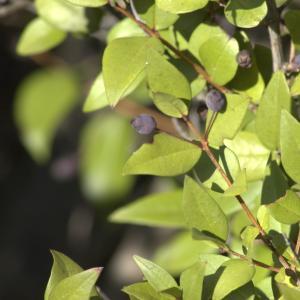 Photographie n°7144 du taxon Myrtus communis L. [1753]