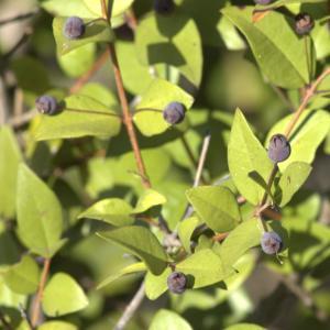 Photographie n°7145 du taxon Myrtus communis L. [1753]