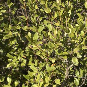 Photographie n°7146 du taxon Myrtus communis L. [1753]