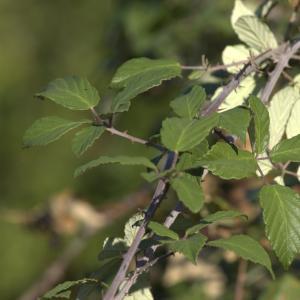 Photographie n°7158 du taxon Rubus ulmifolius Schott [1818]