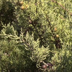 Photographie n°7192 du taxon Juniperus phoenicea L. [1753]