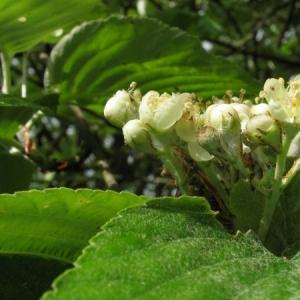 Photographie n°7250 du taxon Sorbus aria (L.) Crantz