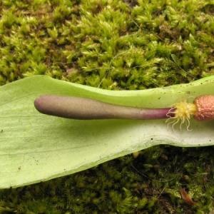 Photographie n°7258 du taxon Arum maculatum L. [1753]