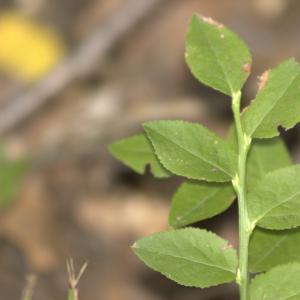 Photographie n°7273 du taxon Vaccinium myrtillus L.