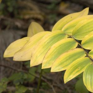 Photographie n°7278 du taxon Polygonatum multiflorum (L.) All.