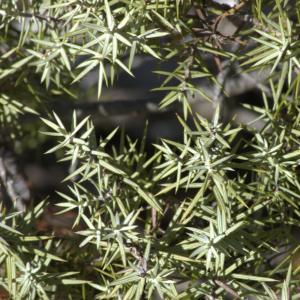 Photographie n°7310 du taxon Juniperus oxycedrus L.