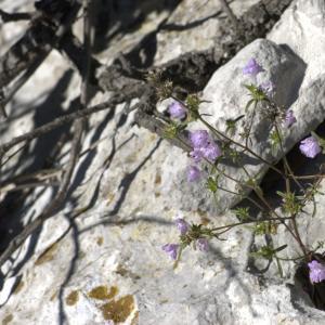 Photographie n°7321 du taxon Galeopsis angustifolia Ehrh. ex Hoffm. [1804]