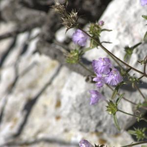 Photographie n°7322 du taxon Galeopsis angustifolia Ehrh. ex Hoffm. [1804]