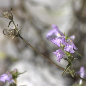 Photographie n°7323 du taxon Galeopsis angustifolia Ehrh. ex Hoffm. [1804]