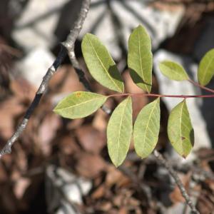 Photographie n°7338 du taxon Pistacia terebinthus L.