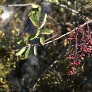 Photographie n°7339 du taxon Pistacia terebinthus L.