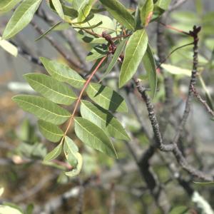 Photographie n°7342 du taxon Pistacia terebinthus L.