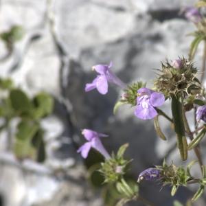 Photographie n°7344 du taxon Galeopsis angustifolia Ehrh. ex Hoffm. [1804]