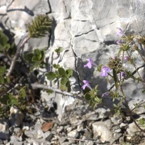 Photographie n°7345 du taxon Galeopsis angustifolia Ehrh. ex Hoffm. [1804]