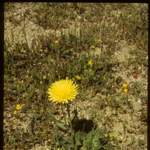 Photographie n°7441 du taxon Urospermum dalechampii (L.) Scop. ex F.W.Schmidt [1795]
