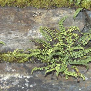 Photographie n°7476 du taxon Asplenium trichomanes L. [1753]