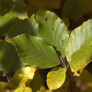 Photographie n°7514 du taxon Fagus sylvatica L. [1753]